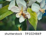 bee on apple blossom | Shutterstock . vector #591024869