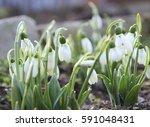 Spring Snowdrops. Spring...