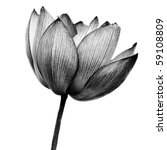 Stock photo lotus in black and white on white background 59108809