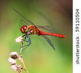 A Red Dragonfly At Rest...
