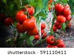 ripe organic tomatoes in garden ... | Shutterstock . vector #591110411