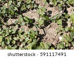 field of young buckwheat and... | Shutterstock . vector #591117491