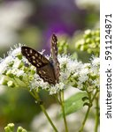 Small photo of Speckled Wood butterfly (Pararge aegeria) on White Snakeroot (Ageratina altissima)