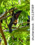 Small photo of Bat (Lyle's flying fox, Pteropus lylei or Pteropodidae) perched hanging on a tree in the wild