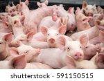 Small Pigs At The Farm Swine I...