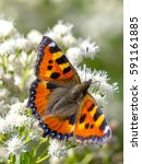 Small photo of The Small Tortoiseshell butterfly (Aglais urticae) on White Snakeroot (Ageratina altissima)