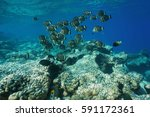 Small photo of Underwater life a school of fish whitespotted surgeonfish, Acanthurus guttatus, over a coral reef, Rangiroa, Tuamotu, Pacific ocean, French Polynesia