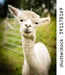 Small photo of Portrait of a white alpaca outside