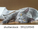 british blue cat and toilet... | Shutterstock . vector #591219545