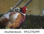 the colorful male ring necked... | Shutterstock . vector #591270299