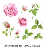 Stock vector set of roses pink red flowers and buds green leaves on white background digital draw 591273101