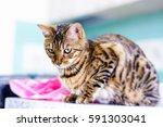 Cute Beautiful Bengal Cat Set...