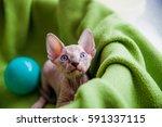 sphinx kitten sitting with ball | Shutterstock . vector #591337115