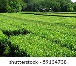 tea plantation in charleston ... | Shutterstock . vector #59134738