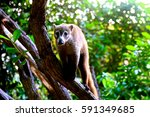 Small photo of Coati, genera Nasua and Nasuella, Coati-Mundi