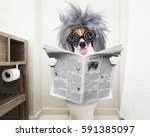 Stock photo smart dumb jack russell terrier sitting on a toilet seat with digestion problems or constipation 591385097
