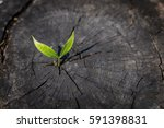 sprouts  growing on an old tree ... | Shutterstock . vector #591398831