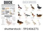 poultry farming infographic... | Shutterstock .eps vector #591406271