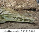 Basking Crocodile   While...