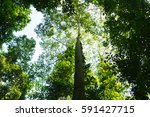 Lush Rainforest  Trees And...
