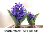 violet fresh hyacinth blooming... | Shutterstock . vector #591431531