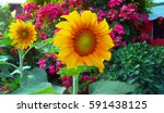sunflowers garden. sunflowers... | Shutterstock . vector #591438125