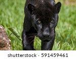 male black jaguar  panthera... | Shutterstock . vector #591459461