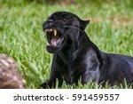 male black jaguar  panthera... | Shutterstock . vector #591459557