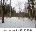 cold woods of russia. birch ... | Shutterstock . vector #591499244