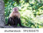 close up of a white faced...   Shutterstock . vector #591503375