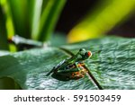 close up of two red eyed tree...   Shutterstock . vector #591503459