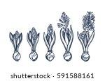 hyacinthus. genus asparagus... | Shutterstock .eps vector #591588161