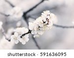 apricot tree flower with buds... | Shutterstock . vector #591636095