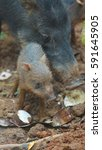 peccary pig eating with her... | Shutterstock . vector #591645905