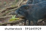 profile view of peccary pig.... | Shutterstock . vector #591645929