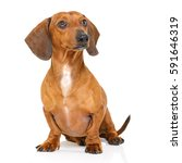 sitting and obedient dachshund... | Shutterstock . vector #591646319