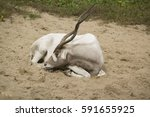 An Addax Antelope Sleeps In Th...
