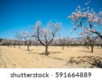 almond trees   almond orchard... | Shutterstock . vector #591664889