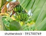 Green Banana At The Plantain