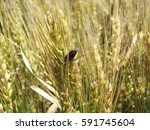 Ergot Disease Of Wheat Crop