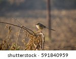 Small photo of common babbler sitting in branch