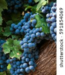 wine grapes at a vineyard in...   Shutterstock . vector #591854069