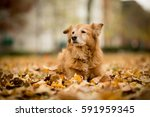 old golden retriever laying in... | Shutterstock . vector #591959345