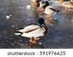 Wild Ducks On A Frozen Lake