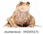 common european toad  bufo bufo.... | Shutterstock . vector #592055171