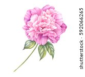pink peony flower with leaves...   Shutterstock . vector #592066265