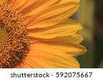 sun flower close up view | Shutterstock . vector #592075667