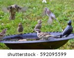 House Sparrows In The Swim And...