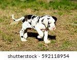 Great Dane Purebred Puppy Dog...