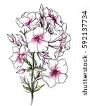 pink phlox flower blossom. hand ... | Shutterstock . vector #592137734